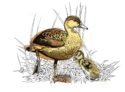 Duck by Jon Rogers
