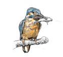 Kingfisher by Jon Rogers