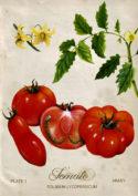 Tomato by Fiammetta Dogi