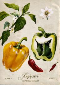 Pepper by Fiammetta Dogi