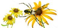 Argiope Spider by Fiammetta Dogi