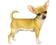 Chihuahua by Fiammetta Dogi