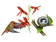 Hummingbird by Fiammetta Dogi