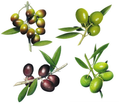 Olives by Fiammetta Dogi